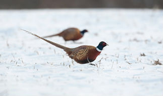 Winter Pheasant Hunting
